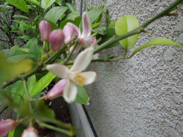 写真 小庭005 レモンの花.jpg