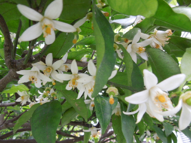 写真 小庭013 柚子の花.jpg