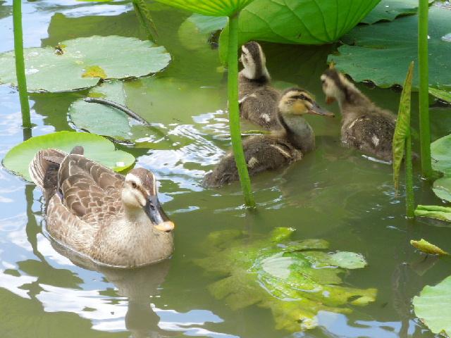 写真 2012夏 源平池のカモ.jpg