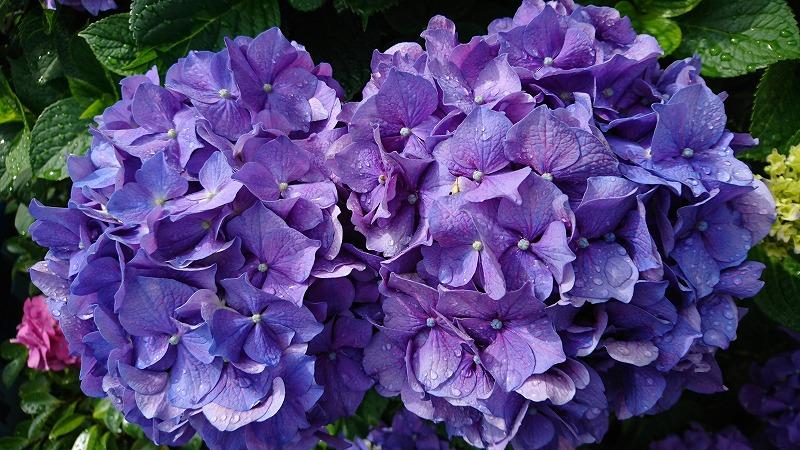 写真170609fri アジサイ(紫).jpg